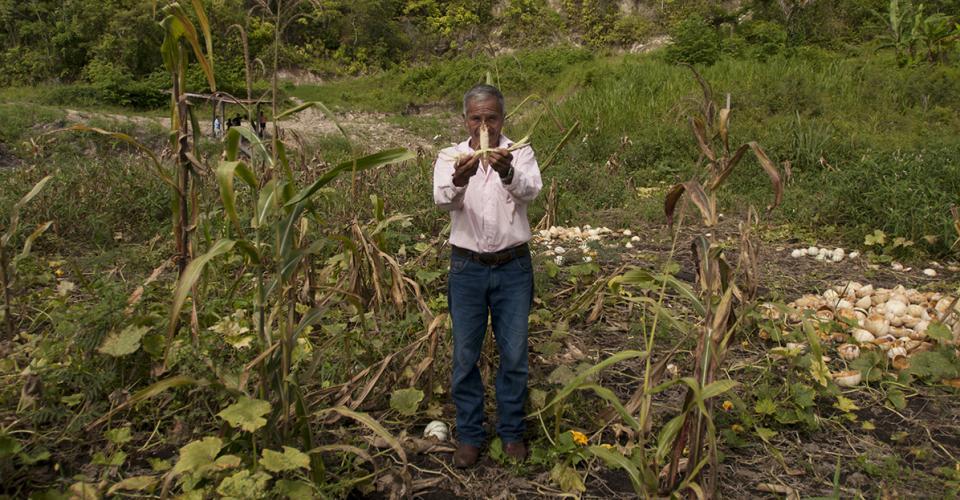 Un comunitario enseña los daños a la cosecha de maíz a causa de la plantación de palma africana. La empresa se ubica atrás del cerro.