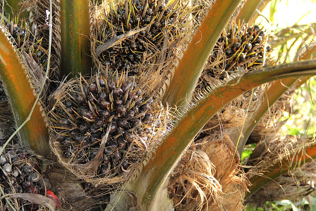 El fruto maduro de una palma africana empieza a retoñar todavía en una planta.