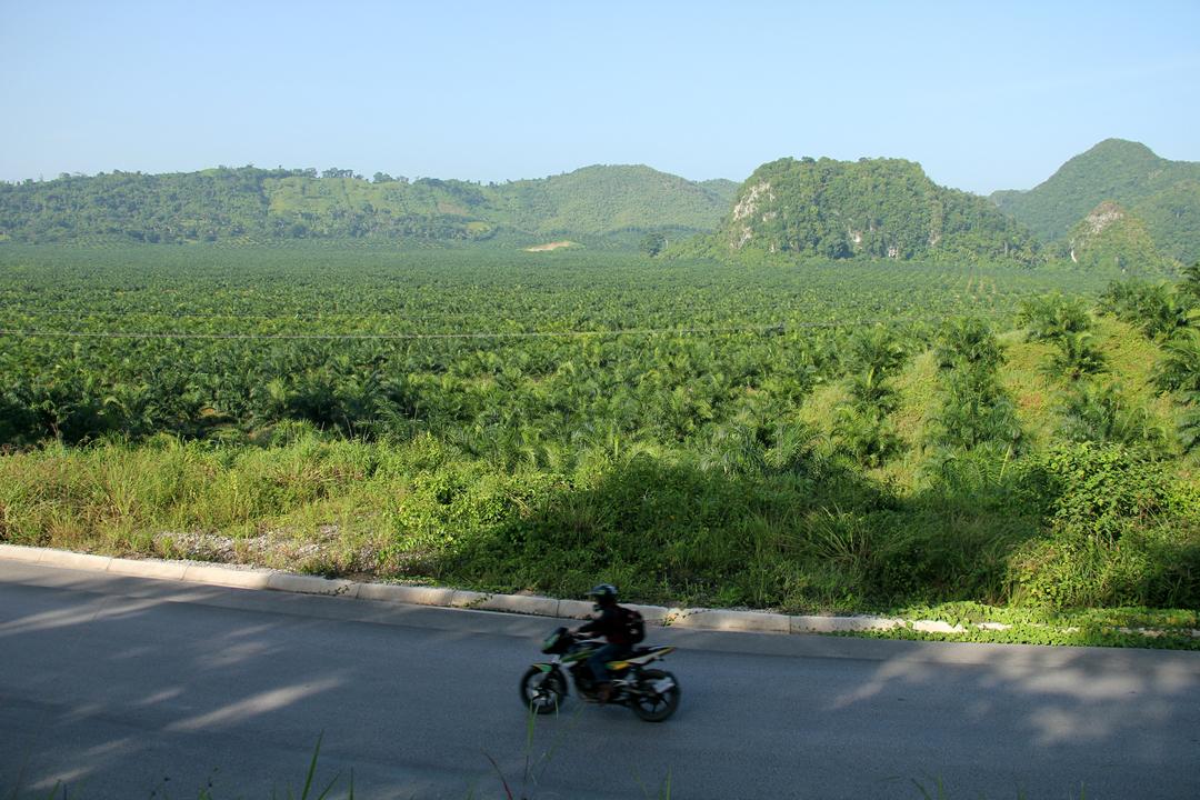 El paisaje de palma africana, entre Fray Bartolomé de las Casas y Raxruhá, se extiende desde la carretera hasta la sierra Chinajá.
