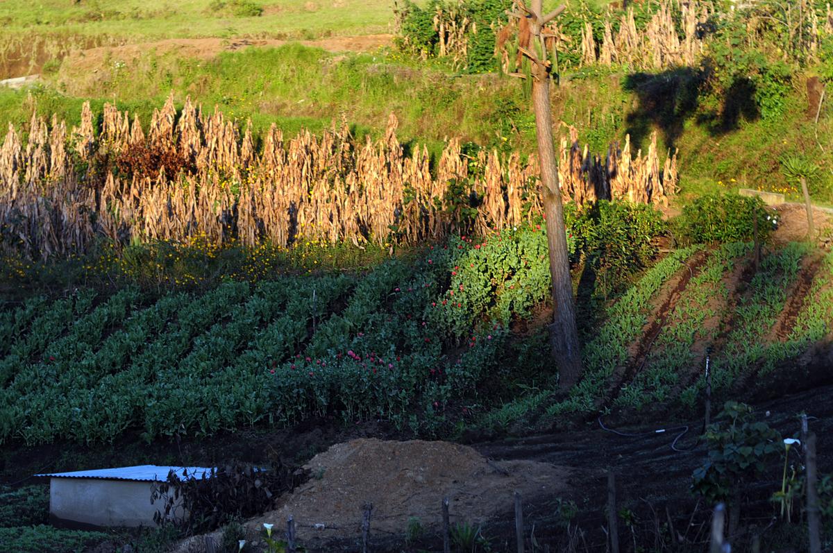 La plantación de amapola a lado de las milpas de maíz.